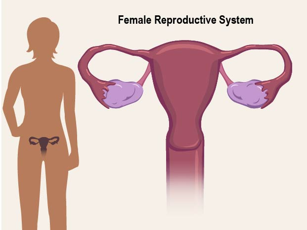 Female Reproductive System For Teens