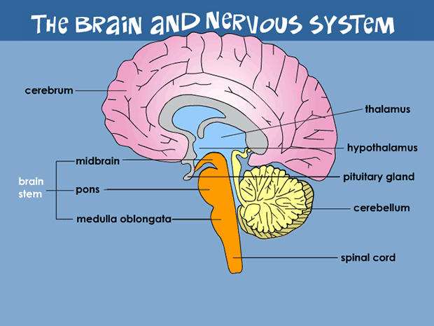 Your Brain Nervous System