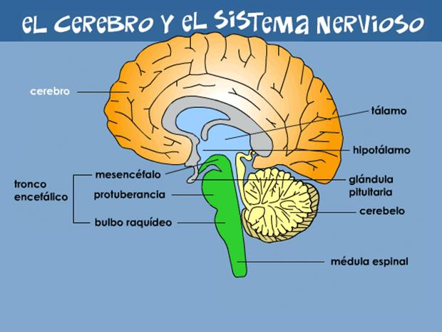 El Cerebro Y El Sistema Nervioso