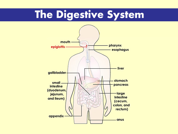 Your Digestive System (for Kids) - Nemours KidsHealth