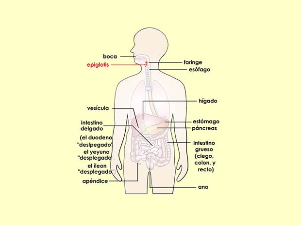El Aparato Digestivo Para Padres Kidshealth