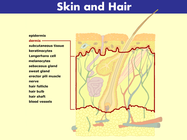 skin, hair, and nails