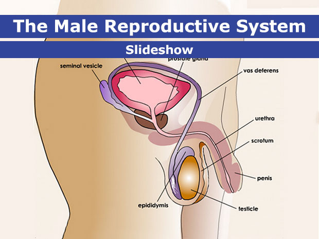 Male Reproductive System For Teens
