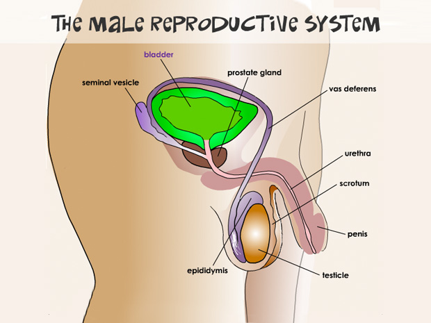 Male reproductive system ccuart Gallery